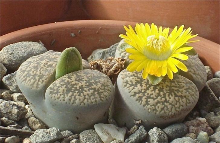Литопс Лесли (Lithops lesliei). © cactusjohn