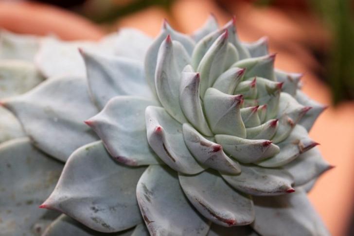 Водянистость не мешает листьям эхеверий оставаться достаточно жесткими. © alloe.