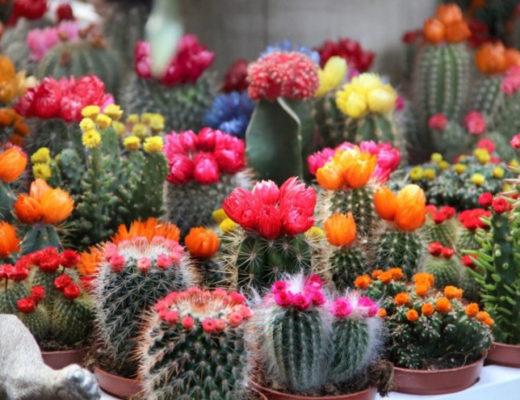 20 комнатных кактусов и суккулентов с поразительно красивым цветением