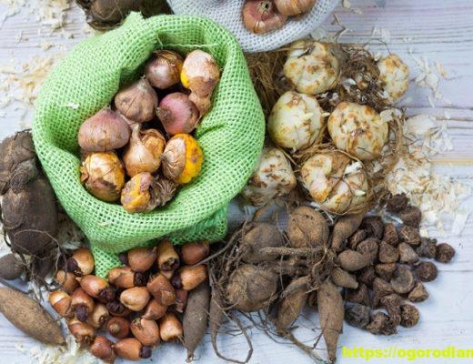 Как хранить луковицы, клубни, клубнелуковицы цветов до весны