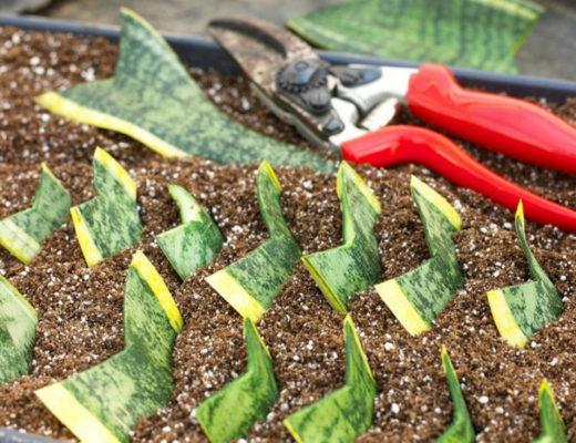 Особенности черенкования комнатных растений. © nangarden