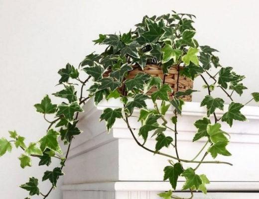 Комнатный плющ — классика вертикального озеленения помещений. © softhomevibes