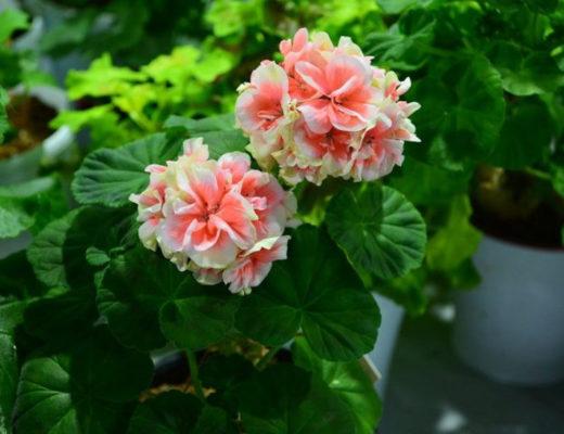 Почему не цветёт пеларгония? © Svetlana Bahmet