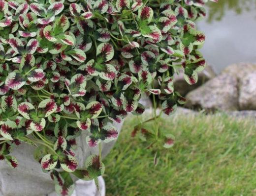 Удивительный пестролистный клевер в саду — сорта и особенности выращивания. © floradania