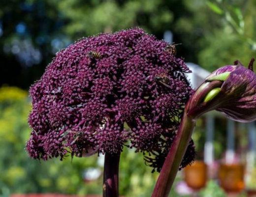 7 эффектных зонтичных растений для цветников в природном стиле. © Calle Söderberg