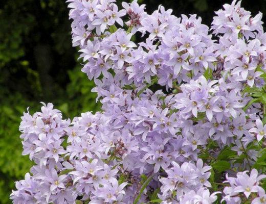 Колокольчик молочноцветковый — трогательный многолетник для малоуходного сада. © Everett Herald
