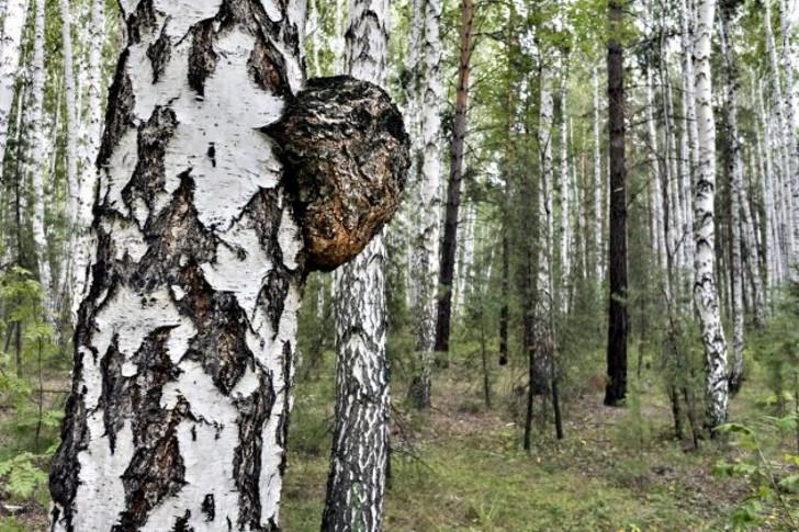 Трутовик скошенный, или Инонотус скошенный (Inonotus obliquus), или Гриб чага, уютно устроился на древесном стволе в лесу