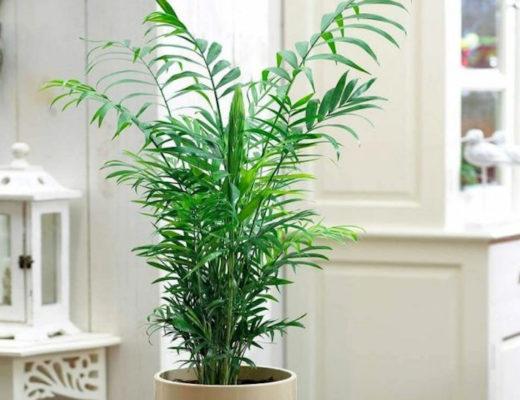 Хамедорея — лучшая пальма для размещения внутри комнат. © GardenersDream