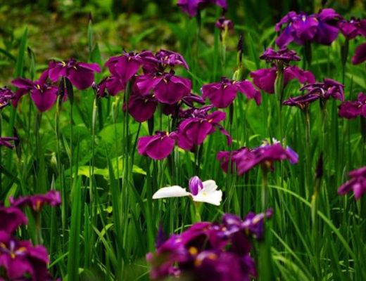Японские ирисы хана-шобу — эксклюзив, который может поселиться и в вашем саду. © TMishina
