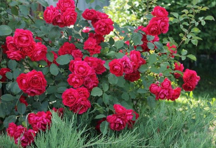 Чайно-гибридные и плетистые розы — характеристики сортов для разных регионов. © Tatyana Mitkina