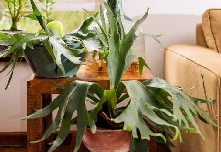 Платицериум — олений папоротник для внимательных цветоводов. © terravivaflores