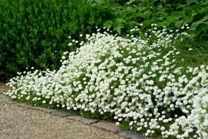 Универсальная жемчужница — для дизайна сада и здоровья. © devroomen
