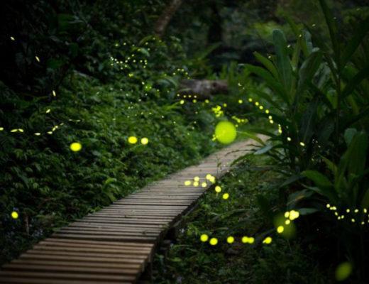 Светлячки — почему светятся и какую пользу приносят садоводам?