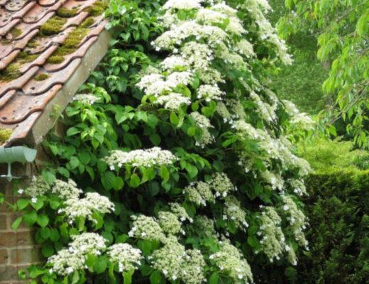 Гортензия черешковая — лиана, способная взобраться на огромную высоту. © Carol